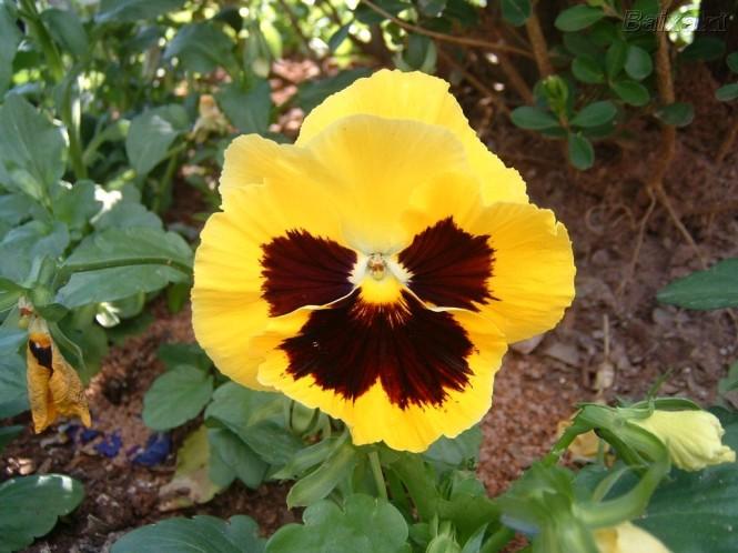 Viola wittrochiana