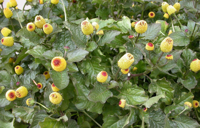 Spilanthes Oleracea L.