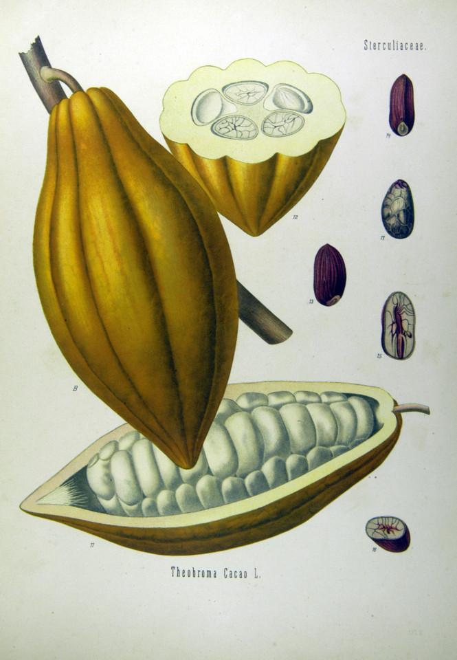Theobroma Cacau L. 2
